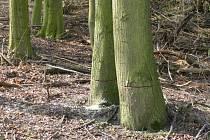 Naříznutý strom, ilustrační foto