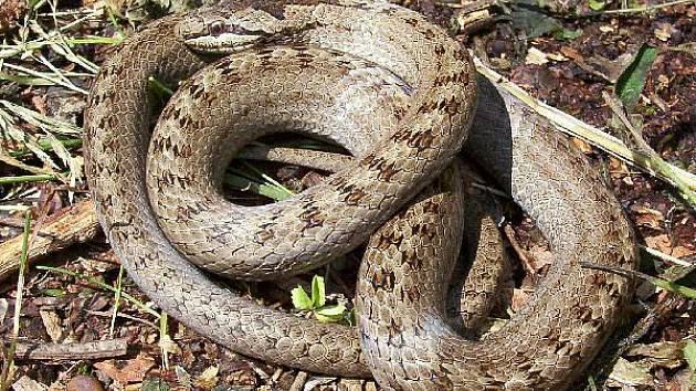 I neškodný had může vypadat nebezpečně.