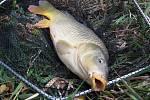 Nejoblíbenější vánoční rybou je kapr.