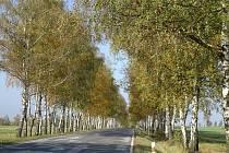 Březová alej má stáří asi 55 let, sázela se při stavbě nové silnice.