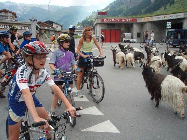 Pozor, zvěř. Pelhřimovská výprava měla na jedné ze švýcarských cest tu čest i s nefalšovaným stádem vysokohorských koz.