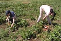 Jahodové pole provozuje rodinná firma.