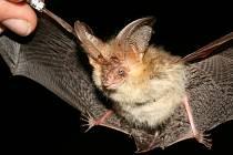 Podle ekologů je kolonie netopýrů v Brodě poměrně početná a pestrá.