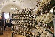 Výstava trofejí. Nádherný sál brodské Staré radnice v těchto dnech hostí chovatelskou přehlídku trofejí z honiteb na Havlíčkobrodsku, Světelsku a Chotěbořsku.