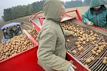 Sklizeň brambor na poli u Kojetína.