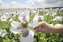 Máku (na snímku pole u Radostína na Havlíčkobrodsku) letos zaseli zemědělci méně než vloni.