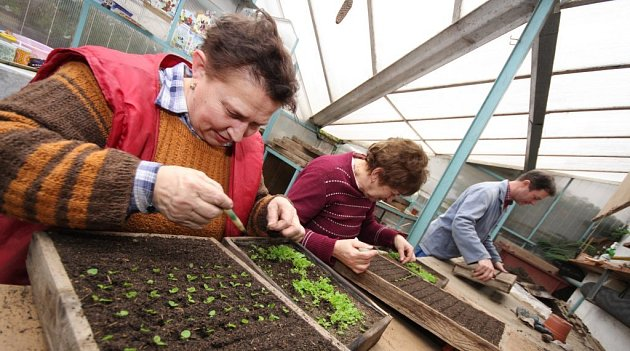 Jednou z hlavních prací těchto dnů v zahradnictvích je pikýrování begonek. V lednu vysetá semena tzv. hroboviny vzklíčila a velice jemné rostlinky s kořínky tenčími než šicí nitě je třeba přepichovat.