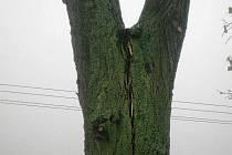 Lípa byla rozčísnuta ve dví a rozštěp se každým dnem prodlužoval. Odbor životního prostředí doporučil proto nejdříve rychle strom ořezat a bude i skácen.