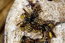 Nebezpečný hmyz může i zabít.