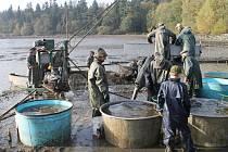 """Rybáři """"zatáhli"""" v sobotu ráno Řeku. Ta jim vydala na dvacet tun ryb, především pak vánočního kapra."""