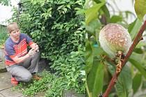 Libuše Žáčková návštěvníkům povyprávěla mimo jiné o svých zkušenostech s pěstováním  minikiwi (na snímku vlevo).  Těší se také na další úrodu broskví (vpravo).