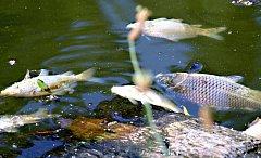 V půlhektarovém rybníku v Keřkově přišli rybáři prakticky o všechny kapry, které tam nasadili.
