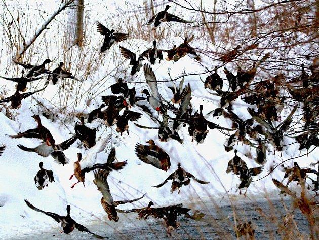 Výstava ukazuje zajímavé fotografie ze zimoviště divokých kachen na řece Sázavě.