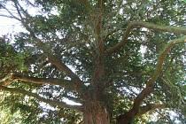 Vilémovický tis červený patří k nejstarším stromům v Čechách i ve střední Evropě.