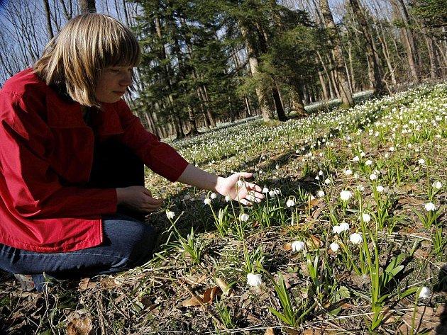 Za kvetoucími bledulemi míří každoročně na Staré Ransko stovky, ne–li tisíce lidí. Podívaná je to vskutku unikátní. Kromě bledulí mohou návštěvníci vidět i rozkvetlé lýkovce a medvědí česnek.