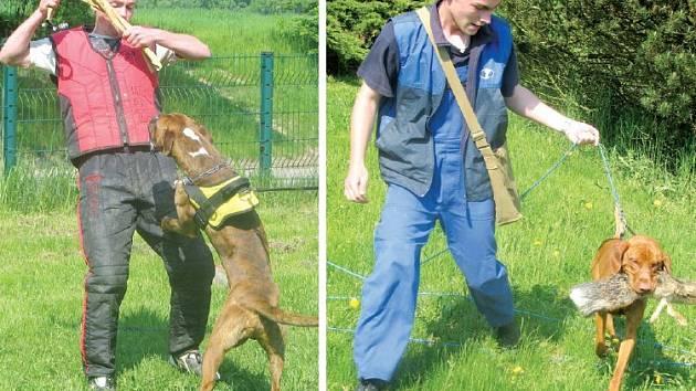 I mladí psi se do boje s figurantem pouštějí s vervou (snímek vlevo). Maďarský ohař se šlechtickým jménem Anwár od Křemence má lov v krvi – na snímku vpravo svému pánu Vojtěchu Malinovi přináší ukořistěnou zaječí kůži.