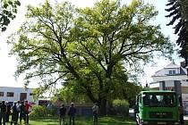 Významný dub v Havlíčkově Brodě