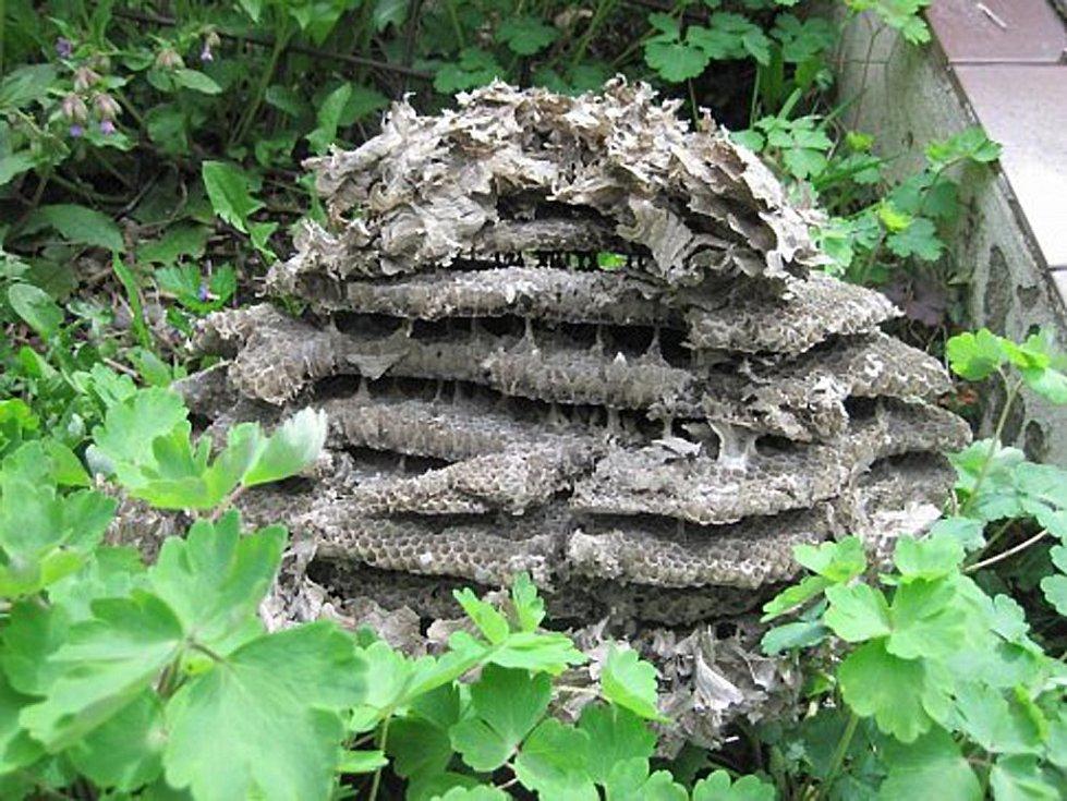 Hnízdo bodavého hmyzu může někdy dosáhnout doslova obřích rozměrů, amatérská lividace se rozhodně nedoporučuje. Ilustrační foto.