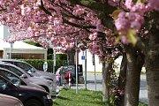 Rozkvetlé stromy v Pelhřimově.