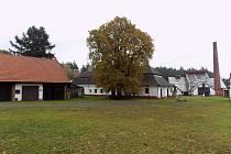 Vzrostlý strom je ozdobou sklářského skanzenu v Tasicích na Ledečsku.