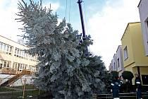 Pracovníci havlíčkobrodských technických služeb v pondělí odpoledne pokáceli dvanáctimetrový stříbrný smrk, který rostl v areálu mateřské školy v Perknově. Strom z Brodu se v Nizozemí rozsvítí při slavnostním ceremoniálu 12. prosince.
