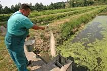 Vedro na sádkách. Lubomír Máca právě provádí v třebíčských sádkách krmení v jednom ze dvanácti rybníčků. Teplota vody se pohybuje okolo 24 stupňů, což je pro ryby na hranici přežití.
