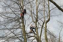 Práce arboristů v korunách stromů.
