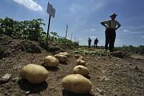 Bramborářský den. Pěstitelé brambor si včera v Oudoleni mohli prohlédnout pokusné parcely, na kterých je pěstováno 215 klasických i nově vyšlechtěných odrůd brambor.