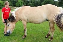 Fjordský kůň v Pelestrově.