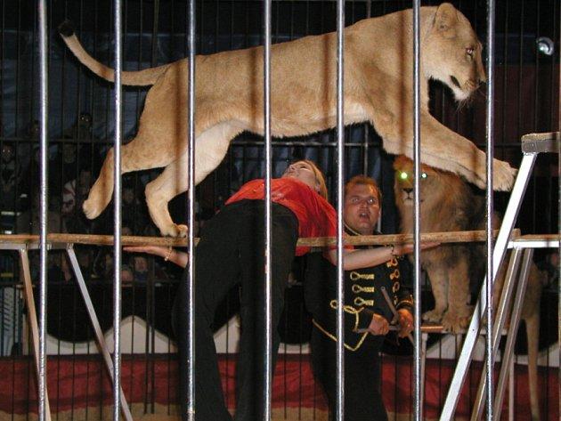 Dravci za mřížemi. Berberští lvi, to je zlatý hřeb každého vystoupení.