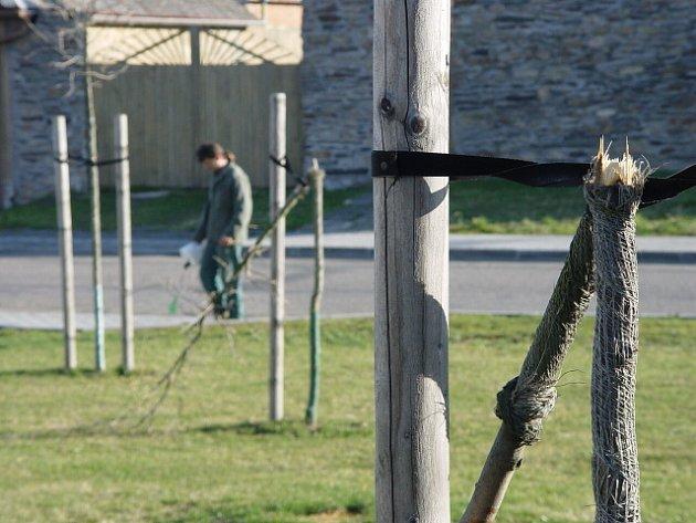 Polámané nově vysazené stromy Vilémovští na policii nehlásili. Starostka se dohodla s provozovatelem místního discoklubu o náhradě škody během třiceti minut.