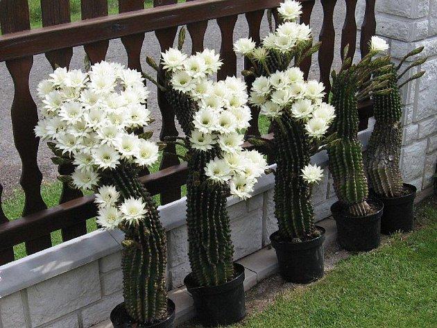 Na osmi kaktusech vykvetlo přes sto třicet kalichů. Ty ale během dvou dnů odkvetly. Přesto i z jediného je podle pěstitele Václava Čudy cítit intenzivní vůně.