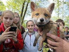 Malé liščí mládě už se bohužel zpět do přírody nevrátí. Zachránci ho bohužel nechali příliš dlouho doma ve společnosti lidí, než ho předali pracovníkům stanice.