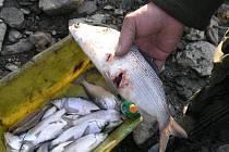 Ptáci, kteří loví hromadně, často ryby i smrtelně poraní. Na snímku vidíte síha severního – peleď, kterému kormorán zobákem otevřel břišní dutinu.