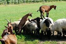 Na prohlídku kozí farmy v Olešence u Přibyslavi se vydala skupina knihovníků z Havlíčkova Brodu, aby poznala krásy ekologického zemědělství zblízka.