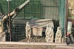 Surikaty poutají pozornost v každé zoo.  Vladimír Zadražil je chová doma, a tak mu panáčkující šelmy zpestří každý den.