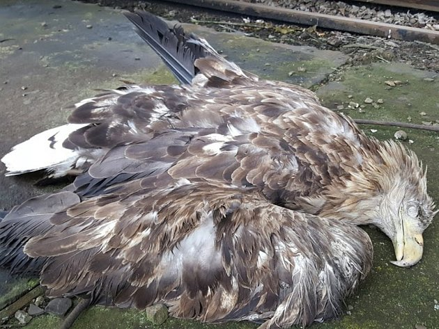 Samice vzácného orla mořského byla pravděpodobně sražena projíždějícím vlakem.