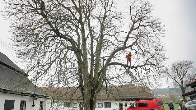 Sto padesát let starý jírovec maďal, který zdobí areál sklářské huti Jakub v Tasicích na Havlíčkobrodsku, se v pondělí dočkal odborného ošetření. Do péče si ho vzali tři zkušení arboristé, kteří odstranili asymetrické a nebezpečné větve.
