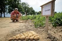 Producenti brambor z celé České republiky, kteří se ve čtvrtek sešli v Olešné na Havlíčkobrodsku, očekávají, že letošní úroda bude podstatně lepší než ta loňská. Součástí setkání byly i prohlídky polních pokusů (na snímku).