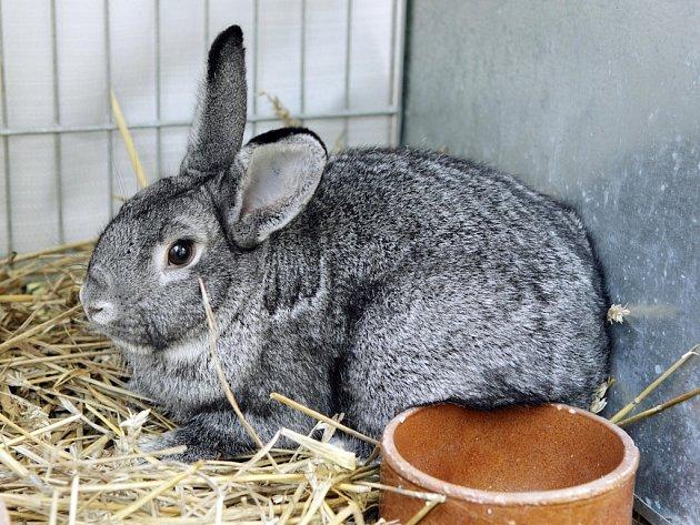 Chovatelé králíků počítají svá uhynulá zvířata. Mohou je zakopat nebo odvézt ke spálení do kafilerie.