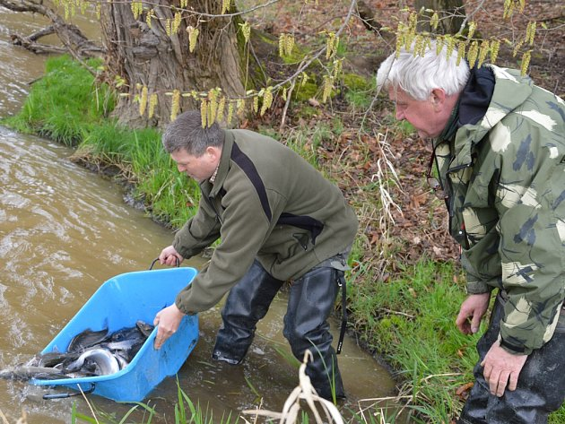 Světelští rybáři vypustili ve čtvrtek ráno do Sázavy 150 kilogramů pstruhů duhových a také sivenů.