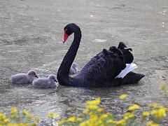 Labutí rodinka.