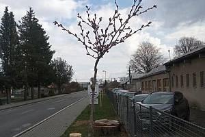 Sázeli jsme stromy. Darované sakury zdobí cestu u hlavní silnice