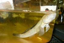 Aby se mohl lezec obojživelný pohybovat na souši, musí v žábrách zadržet dostatek vody.