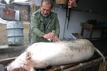 Lukáš Sejkora prasata poráží tradičním způsobem a štětiny z kruponu škrábe tzv. zvonkem. Už mistrův dědeček byl řezníkem a příjmení nosil nikoli od věci - Řezníček.