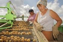Letošní sklizeň brambor začala také ve šlechtitelské stanici společnosti Vesa Velhartice vČeské Bělé na Havlíčkobrodsku.