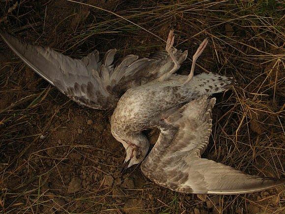 Vzácný zatoulanec. Racka stříbřitého zabil neznámý střelec na Křižanovsku. Podle pracovníků Správy CHKO Žďárské vrchy jsme tím přišli o velkou raritu.