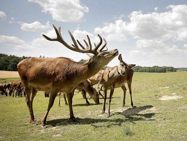 Stádu jelenů u Miřátek velí nádherný sedmiletý čtrnácterák. Svá privilegia si hájí nejen na podzim v době říje, ale také při krmení, kdy mu ostatní členové stáda raději uctivě  vyklidí pole.
