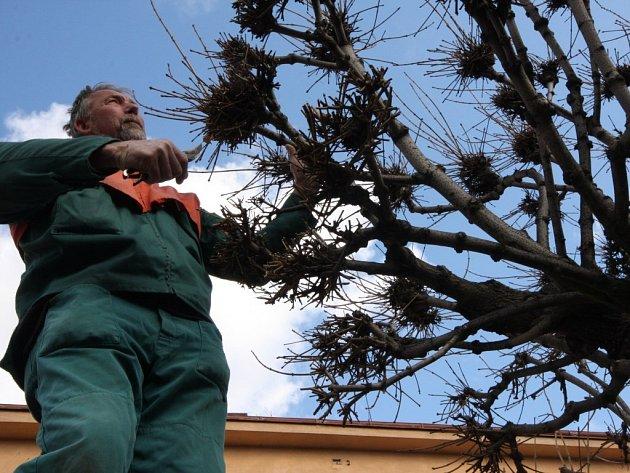 Zahradník Miloslav Kasal dokončuje zmlazovací kúru čtyřiceti javorů a deseti hlohů na Bechyňově náměstí v Přibyslavi.