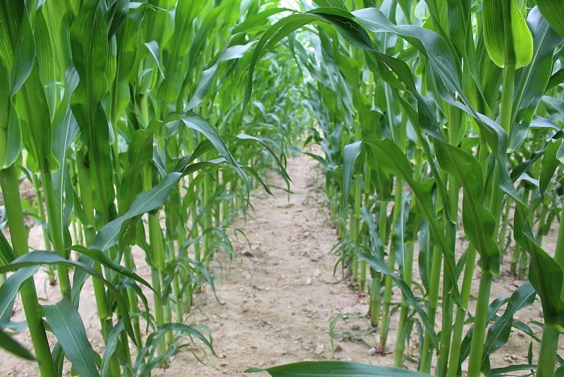 Obávané kukuřičné pole nad vesnicí